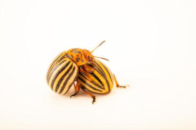 Photo: A Colorado potato beetle (Leptinotarsa decemlineata) at the St. Louis Zoo.