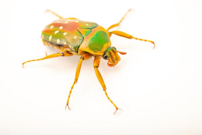 Photo: A flower beetle (Stephanorrhina julia) at Zoopark Zajezd.