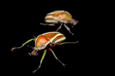 Photo: Two Derby's flower beetles (Dicronorrhina derbyana layardi) at Zoopark Zajezd.