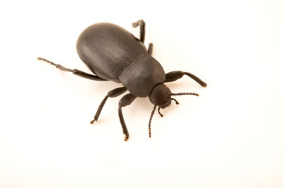 Photo: A darkling beetle (Blaps mortisaga) at the Plzen Zoo in the Czech Republic.