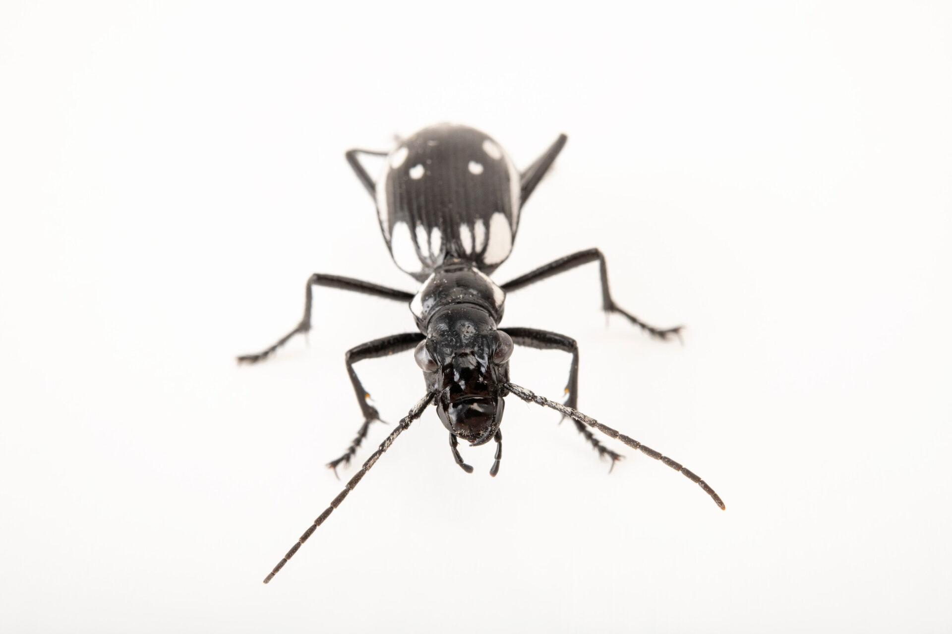 An Egyptian predator beetle (Anthia sexmaculata) at Safari Park Dvur Kralove.