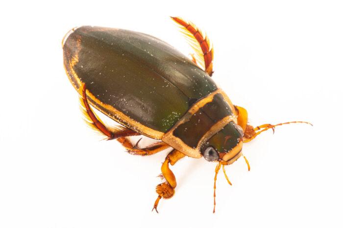 Photo: A great diving beetle (Dytiscus marginalis) at Safari Park Dvur Kralove.