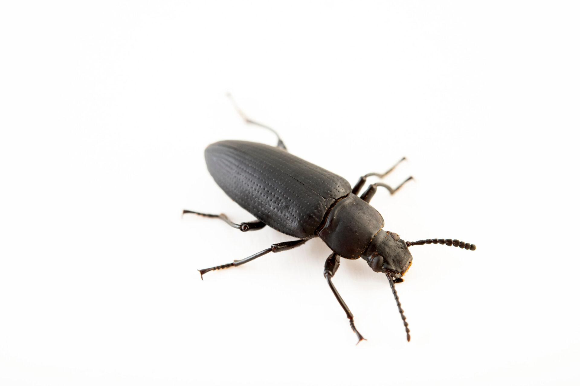 Photo: A giant mealworm beetle (Zophobas atratus) at Safari Park Dvur Kralove.