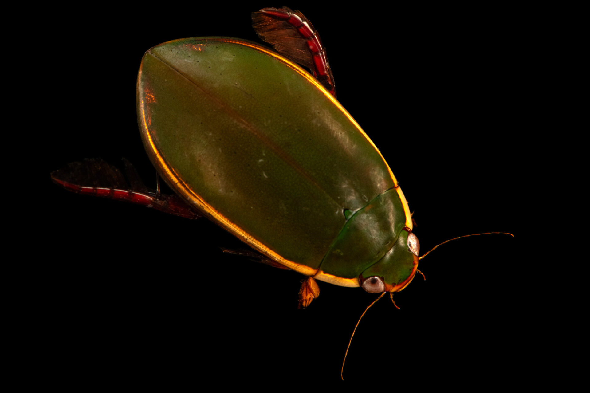 Photo: A predaceous diving beetle (Cybister fimbriolatus) at Gulf Specimen Aquarium in Panacea, FL.