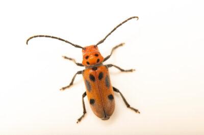 Photo: A red milkweed beetle (Tetraopes tetrophthalmus) photographed at Spring Creek Prairie Audubon Center near Denton, NE. This animal was originally collected from Bobcat Prairie near Denton, NE.