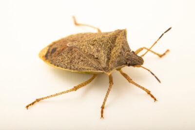 Photo: A spined soldier beetle (Podisus maculiventris) photographed at Spring Creek Prairie Audubon Center near Denton, NE. This animal was originally collected from Bobcat Prairie near Denton, NE