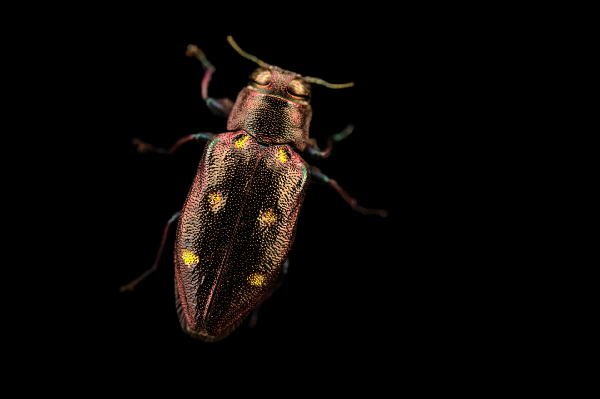 Photo: An emerald beetle (Chrysobothris sexignata) photographed at Spring Creek Prairie Audubon Center near Denton, NE. This animal was originally collected from Bobcat Prairie near Denton, NE.