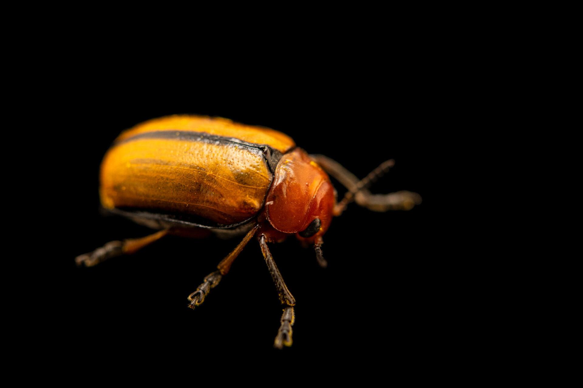 Photo: A clay-colored leaf beetle (Anomoea laticlavia) photographed at Spring Creek Prairie Audubon Center near Denton, NE. This animal was originally collected from Bobcat Prairie near Denton, NE.