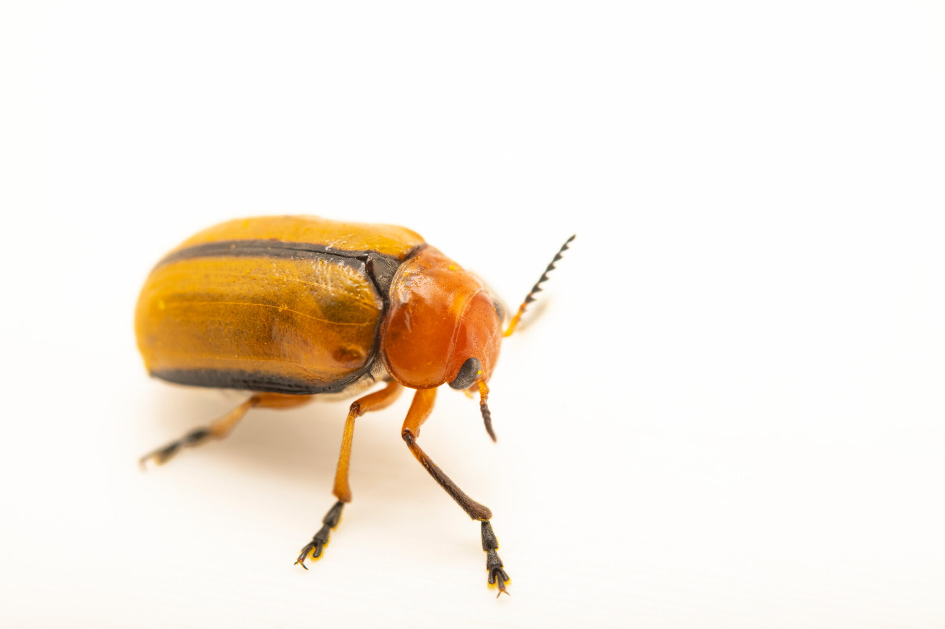 Photo: A clay-colored leaf beetle (Anomoea laticlavia) photographed at Spring Creek Prairie Audubon Center near Denton, NE. This animal was originally collected from Bobcat Prairie near Denton, NE.