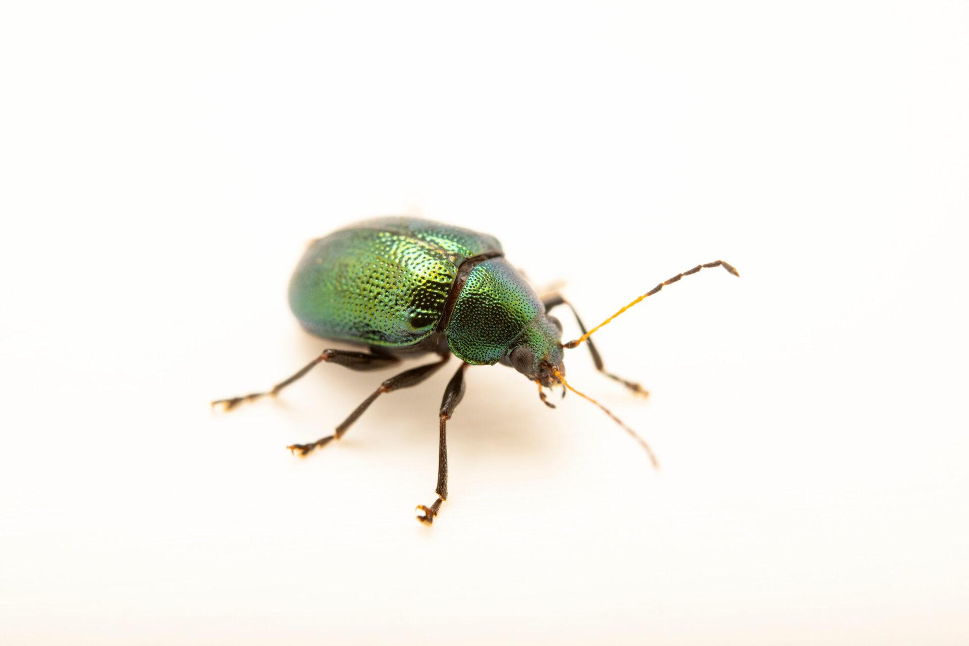 Photo: A leaf beetle (Colaspis favosa) photographed at Spring Creek Prairie Audubon Center near Denton, NE. This animal was originally collected from Bobcat Prairie near Denton, NE.