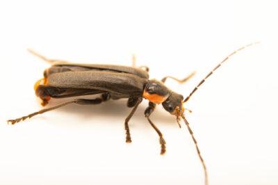 Photo: A lighting bug (Pyropyga decipiens) photographed at Spring Creek Prairie Audubon Center near Denton, NE. This animal was originally collected from Bobcat Prairie near Denton, NE.