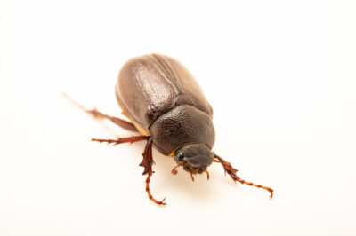 Photo: A scarab beetle (Phyllophaga corrosa) photographed at Spring Creek Prairie Audubon Center near Denton, NE. This animal was originally collected from Bobcat Prairie near Denton, NE.