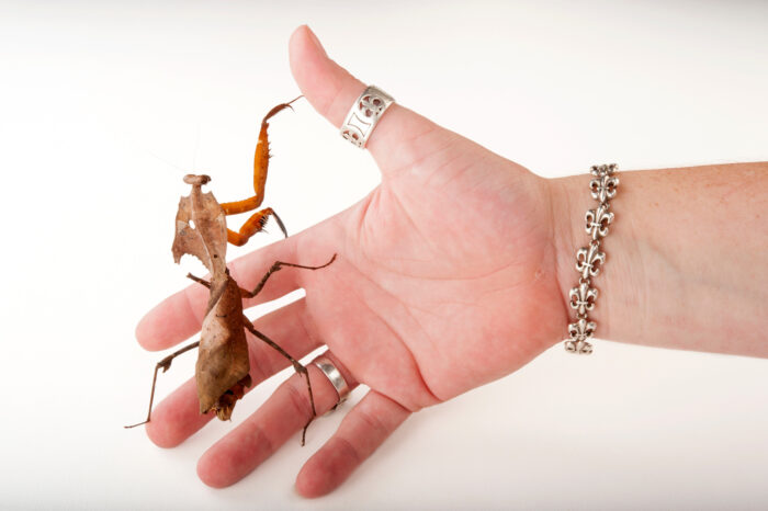 Photo: A dead-leaf mantis (Deroplatys desiccata) on the hand of an assistant at the Audubon Insectarium in New Orleans.