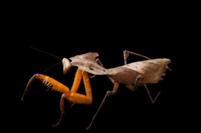 Photo: Dead-leaf mantis (Deroplatys dessicata) at the Audubon Insectarium in New Orleans.