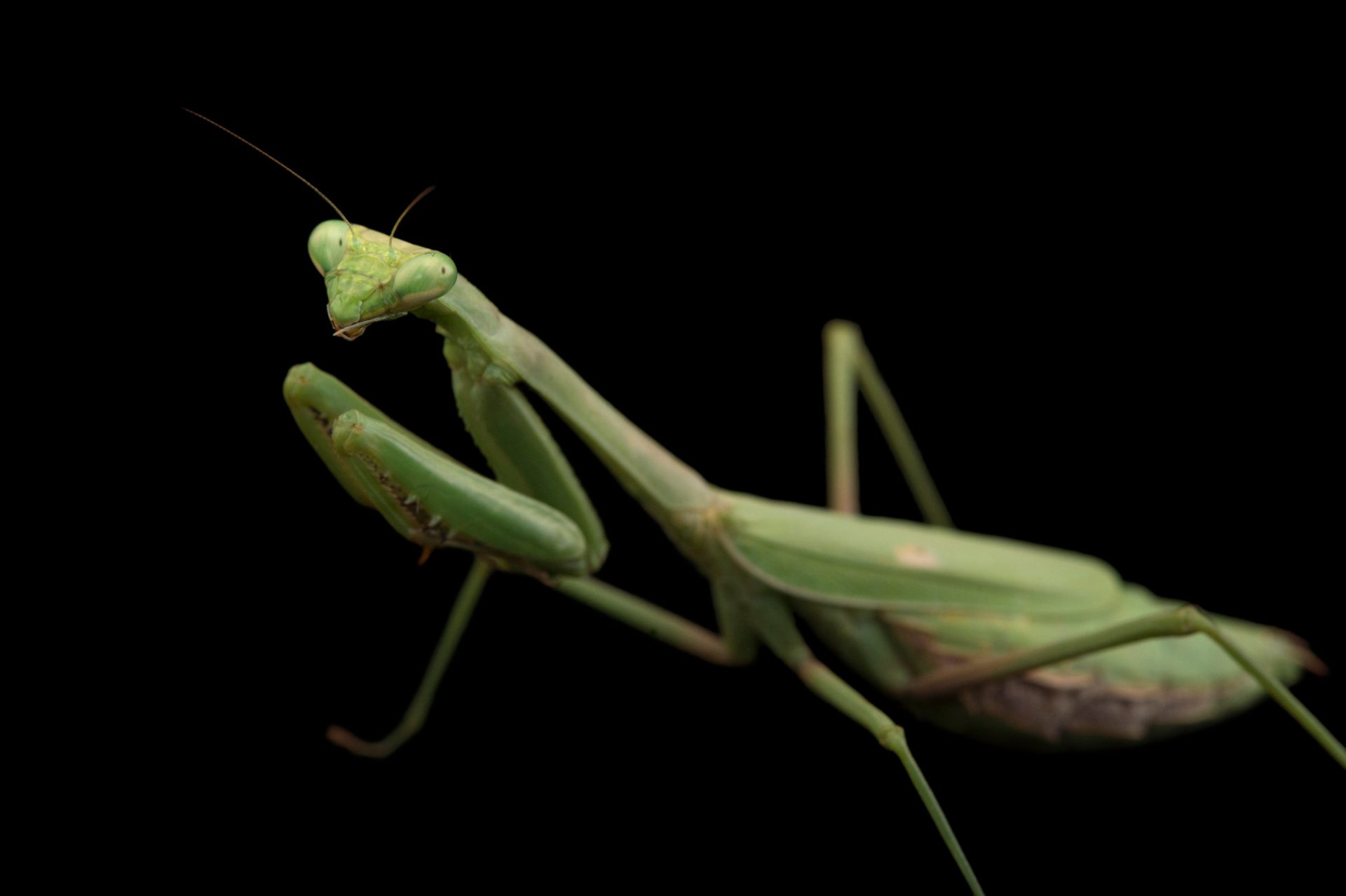 Picture of a praying mantis (Mantis religiosa) at the Houston Zoo.