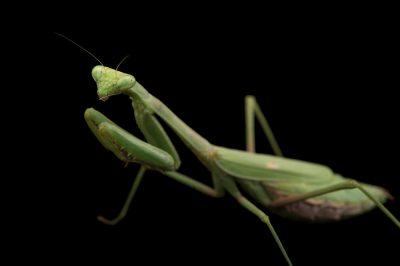 Picture of a praying mantis (Mantis religiosa) at the Houston Zoo.