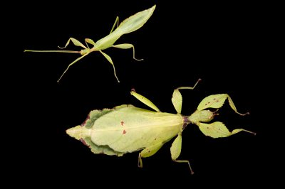 A male and female Celebes leaf insect (Phyllium celebicum) at the Omaha Henry Doorly Zoo, Omaha, Nebraska. The male is the smaller of the two.