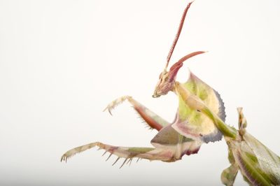 A devil's flower mantis (Idolomantis diabolica) at the Omaha Henry Doorly Zoo, Omaha, Nebraska.