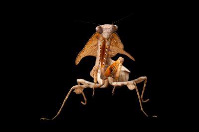 A Malaysian dead leaf mantis (Deroplatys lobata) at the Omaha Henry Doorly Zoo, Omaha, Nebraska.
