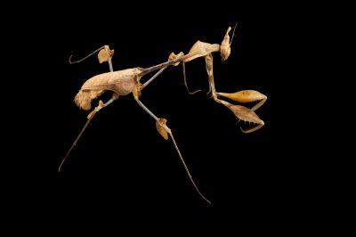 A violin mantis (Gongylus gongylodes) at the Omaha Henry Doorly Zoo, Omaha, Nebraska.