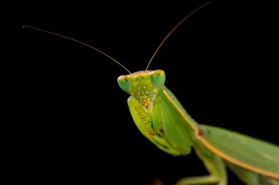Picture of a New Zealand mantis (Orthodera novaezealandiae) at the Auckland Zoo.