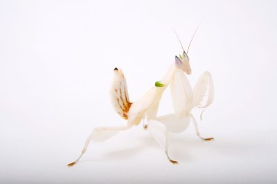 Picture of a female pink orchid mantis (Hymenopus coronatus) at the St. Louis Zoo.
