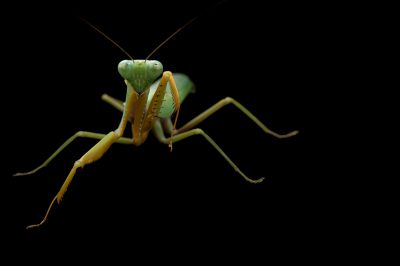 Picture of a male green mantis (Hierodula stalii) at the St. Louis Zoo.