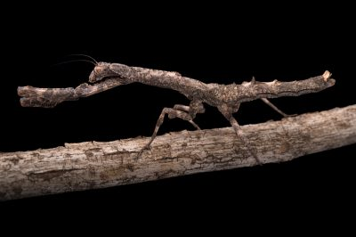 Picture of a female African twig mantis (Popa spurca) at the St. Louis Zoo.