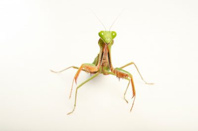 Picture of a giant rainforest mantid (Hierodula majuscula) at the Wellington Zoo.