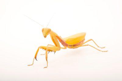 A female (yellow in color) Golden Asian mantis (Hierodula venosa) at the Bugarium at the Albuquerque BioPark.