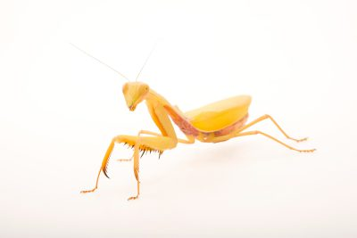 Photo: A female (yellow in color) Golden Asian mantis (Hierodula sp.) at the Bugarium at the Albuquerque BioPark.
