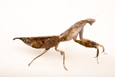 Photo: Dead leaf mantis (Deroplatys truncata) at Malacca Butterfly and Reptile Sanctuary.