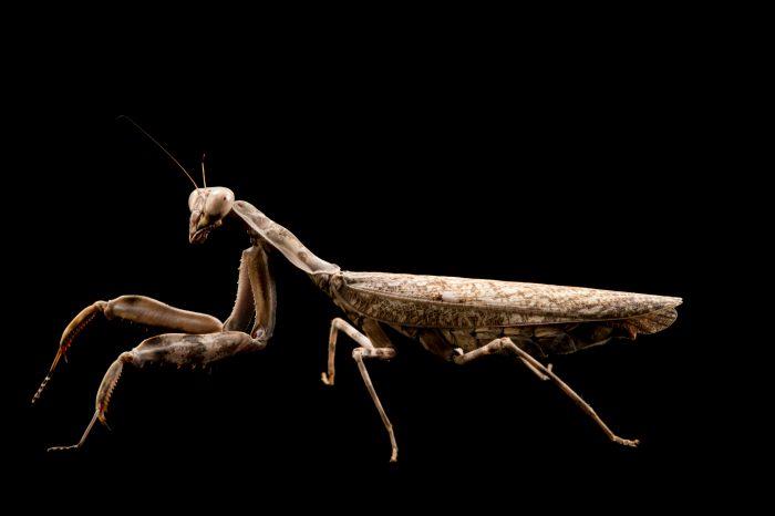 Photo: Indonesian double shield mantis (Pnigomantis medioconstricta) at the Budapest Zoo.