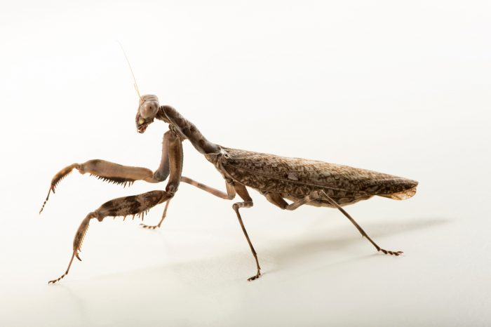 Photo: Indonesian double shield mantis (Pnigomantis medioconstricta) at the Budapest Zoo.