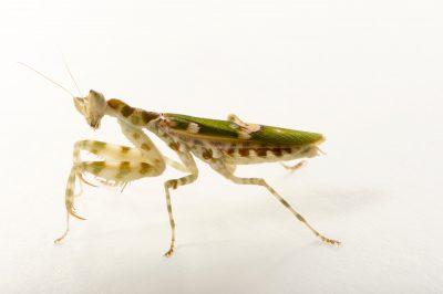 Photo: Jeweled flower mantis or Indian flower mantis (Creobroter gemmatus) at the Budapest Zoo.