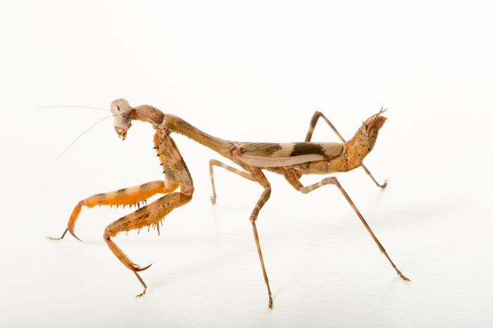 Photo: Budwing mantis (Parasphendale affinis) at the Budapest Zoo.