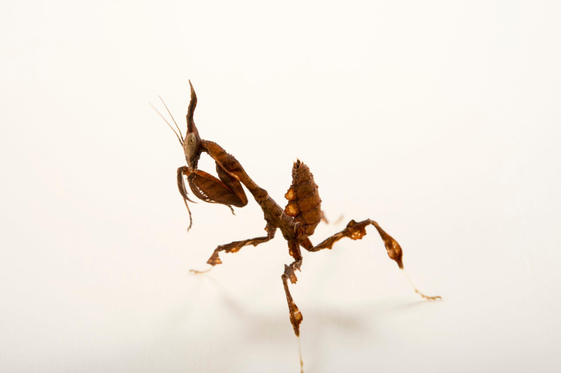 Photo: Ghost mantis (Phyllocrania paradoxa) at the Budapest Zoo.