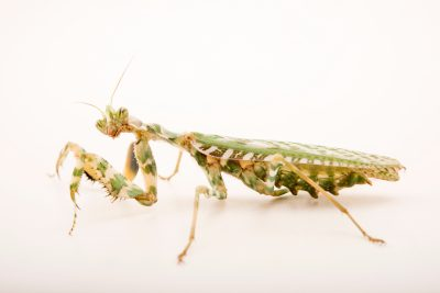 Photo: Thistle mantis (Blepharopsis mendica) at the Bugarium at the Albuquerque BioPark.