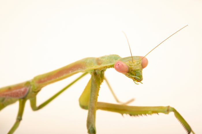 Photo: Female giant green grass mantis (Archimantis sobrina) from the Melbourne Museum
