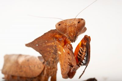 Photo: A dead leaf mantis (Deroplatys dessicata) at the Insectarium in New Orleans.