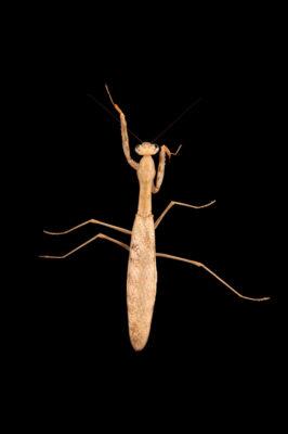 Photo: A Madagascan marbled mantis (Polyspilota aeruginosa) at Aquarium Berlin.