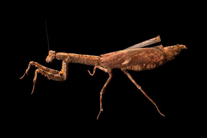 Photo: An African twig mantis (Popa sp.) at Aquarium Berlin.
