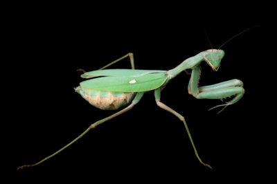 Photo: An African mantis (Sphodromantis viridis) at Safari Park Dvur Kralove.
