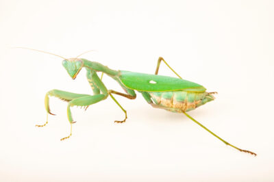 Photo: An African mantis (Sphodromantis viridis) Safari Park Dvur Kralove.