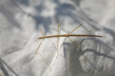 Photo: A walking stick (Diapheromera species) found at Spring Creek Prairie.