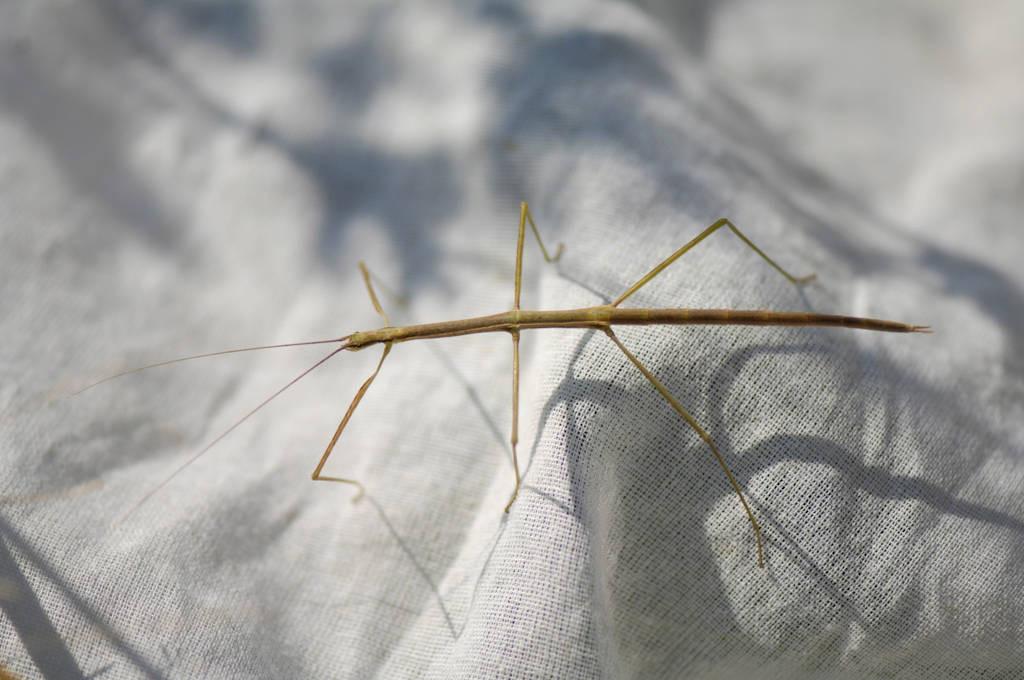 Photo: A walking stick (Diapheromera species) found at Spring Creek Prairie.