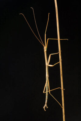 A northern walking stick (Diaphermomera femorata) found at Spring Creek Prairie.