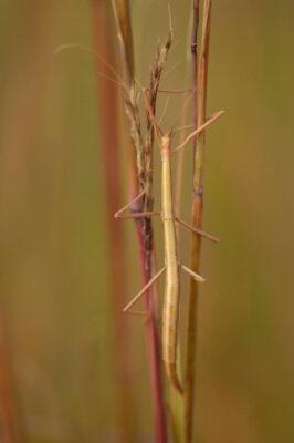 Photo: A walking stick (Diaphermomera species) found at Spring Creek Prairie.