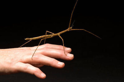 Photo: A Vietnamese walking stick (Baculum extradentatum) at the Kansas City Zoo.