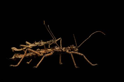 A Sabah stick insect (Aretaon asperrimus) at the Rolling Hills Wildlife Adventure.